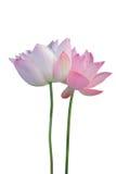 Lotosu kwiat zdjęcia stock