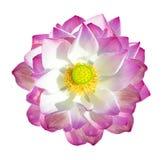 Lotosu kwiat odizolowywający na biały tle Obraz Royalty Free