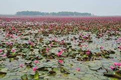 lotosu menchii staw Obraz Stock