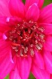 lotosu menchii staw Obrazy Royalty Free