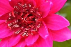 lotosu menchii staw Fotografia Royalty Free