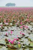 lotosu menchii staw Obrazy Stock