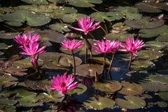 lotosu menchii staw Zdjęcia Royalty Free
