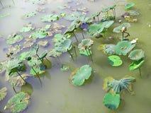 lotosu piękny basen zdjęcia stock