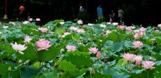 Lotosu stawu krajobraz Obrazy Royalty Free