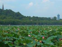 Lotosu stawu krajobraz Fotografia Stock