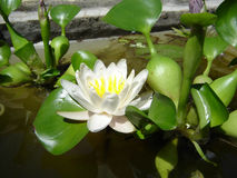 Lotoswasserlilie Stockfotos