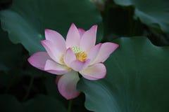 lotosy, kwiat, menchia, leluja, woda, natura, lotos zakorzeniają, Zdjęcia Royalty Free