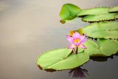 Lotosy kwitną w stawie Obraz Royalty Free