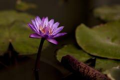 Lotosy kwitną w stawie Zdjęcia Royalty Free