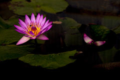 Lotosy kwitną w stawie Obrazy Royalty Free