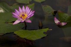 Lotosy kwitną w stawie Zdjęcie Royalty Free