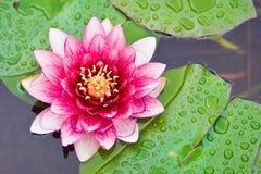 Lotosy kwitn? w stawie zdjęcia stock