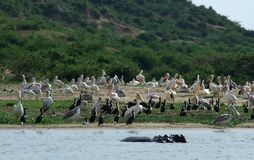 Lots of african birds riverside Royalty Free Stock Photography