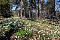 Lots of anemone nemorosa in the oak forest. Hiking in the beautiful nature reserve a beautiful spring day with lot of anemones Royalty Free Stock Images