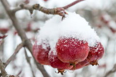 Lots of apples on the branches of a tree covered with snow. Royalty Free Stock Photo