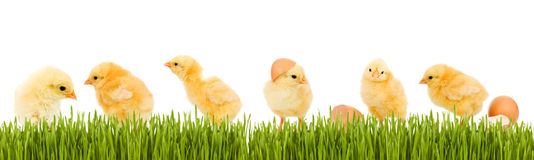 Lots of baby chicken and fresh green grass Royalty Free Stock Photography