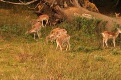 Lots of Bambi Stock Photo