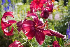 Lots of beautiful dark red garden faded lilys. And buds stock photos