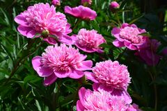 Lots of beautiful pnk Peonies. Big beautiful pink peonies with green leafs in a garden stock images