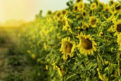 Lots of Beautiful Sunflowers in a Row with Sun Rays Shining Royalty Free Stock Photography