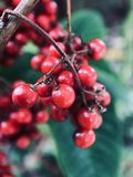 Lots of berries on the trees against blurred background stock photography
