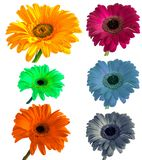 Lots of big beautiful flowers Gerbera with no background, Gerber on isolated background set of colors. royalty free stock photo