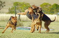 Lots big dogs playing roughly together royalty free stock photography