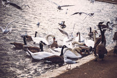 Lots of birds in Hyde Park, London. Horizontal outdoors shot Royalty Free Stock Images