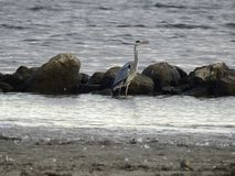 A heron walking alone in the water Royalty Free Stock Photo