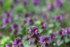 Lots of blooming dead nettles with purple flowers, Red Dead-nettle, purple dead-nettle, Stock Images