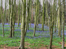 Lots of bluebell flowers in a wooded area Royalty Free Stock Photos
