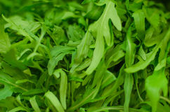 Lots of bright arugula Royalty Free Stock Photography