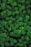 Lots of bright green clover on a black background, a trefoil field. Stock Images