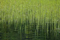 Lots of bright green rushes in the lake water stock photo