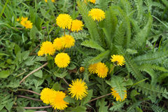 Lots of bright yellow dandelions near yarrow. Leaves Royalty Free Stock Photos