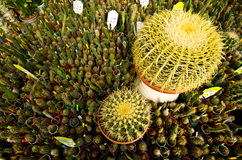 Lots of cacti or cactuses. Wide angle view of a cactus display in a greenhouse. Big and small cacti or cactuses Stock Photography