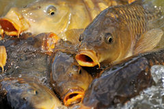 Lots of carp fish royalty free stock photo