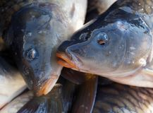 Lots of carp fish. Carp fish after the catch lies in water Royalty Free Stock Image