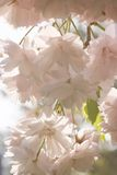 Lots of cherryblossom in spring Stock Photos