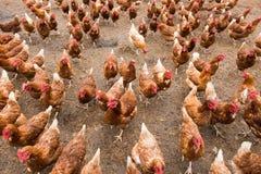 Lots of Chickens on farm. Hens running toward camera, lots of free-range chickens on farm stock photo