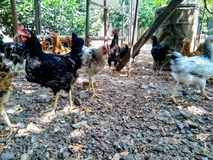Lots of chickens walk in the garden, among the grass. Jpg royalty free stock images
