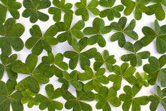 Lots of clover. S isolated on a white background, perfect for St. Patrick's Day Stock Images