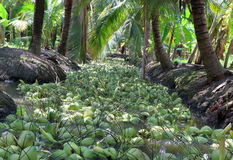 Lots of coconuts in coconut plantation. Stock Photos