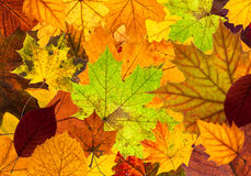 Lots of colorful autumn leaves background. Lots of colorful autumn leaves as a background texture Royalty Free Stock Image