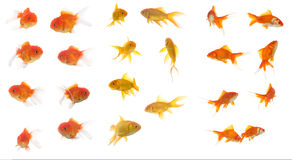 Lots of colorful goldfishes Stock Photos
