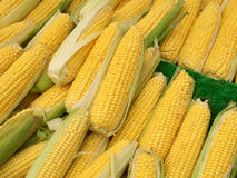 Lots of colorful sweetcorn corn cobs. Stock Images