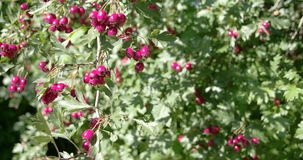 Lots of Crataegus fruits bloomed on the spring FS700 4K. Lots of Crataegus fruits bloomed on the spring  with the red fruits waving on the wind. Crataegus stock footage