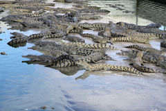 Lots of Crocs Royalty Free Stock Photos