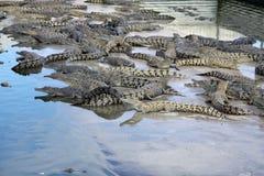 Lots of Crocs royalty free stock photos